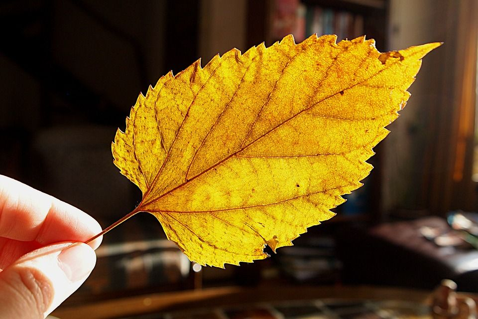 dried-leaf-1166258_960_720.jpg