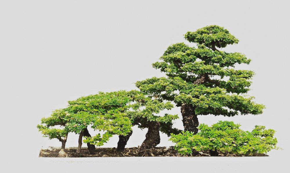 bonsai bosque.jpg