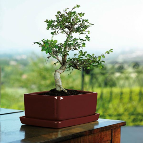 maceta-bonsai.jpg