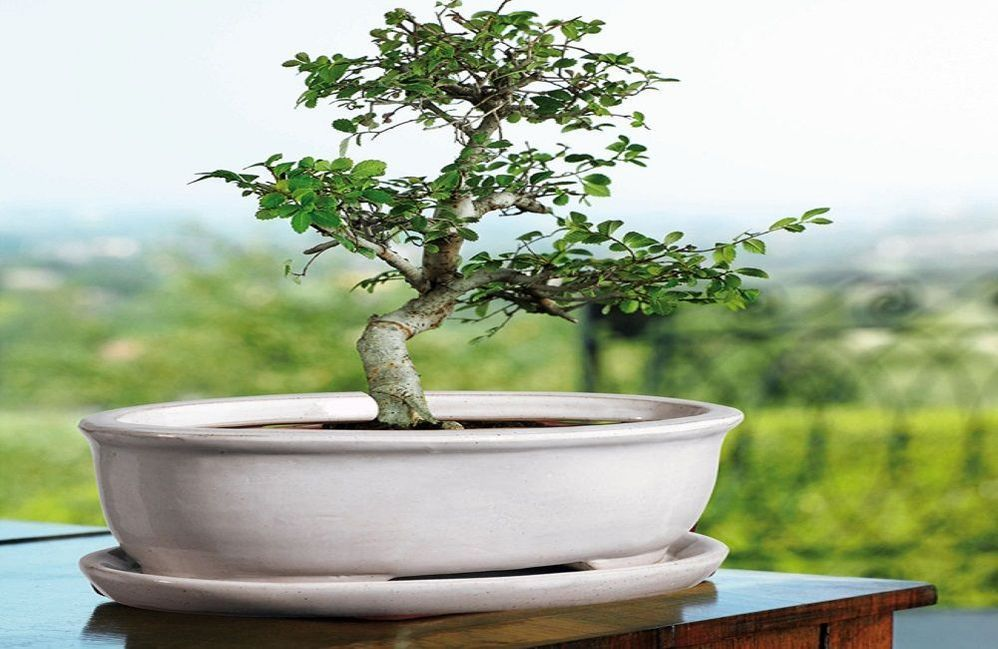bonsai-maceta-blanca.jpg
