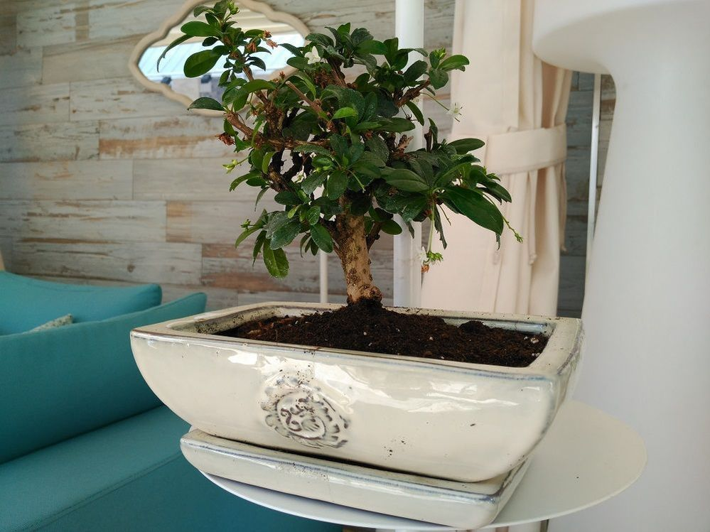 bonsai-interior-cuidados.jpg