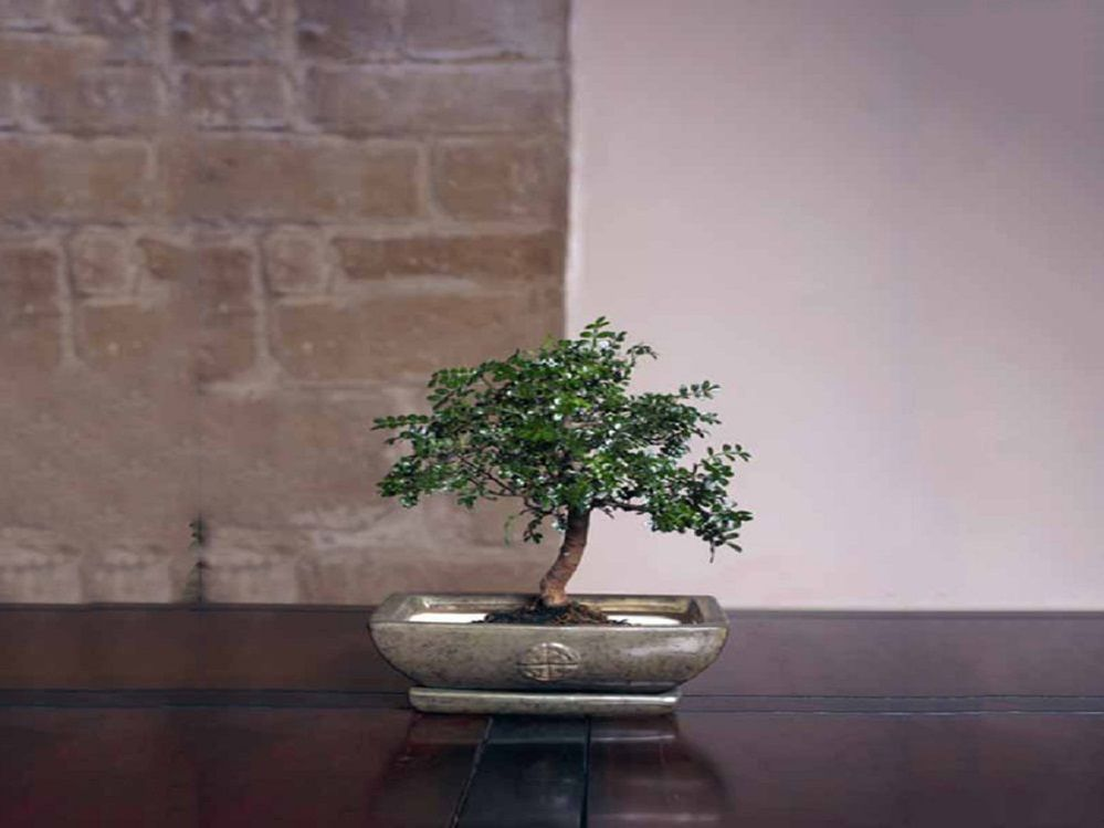bonsai-falso-pimentero.jpg