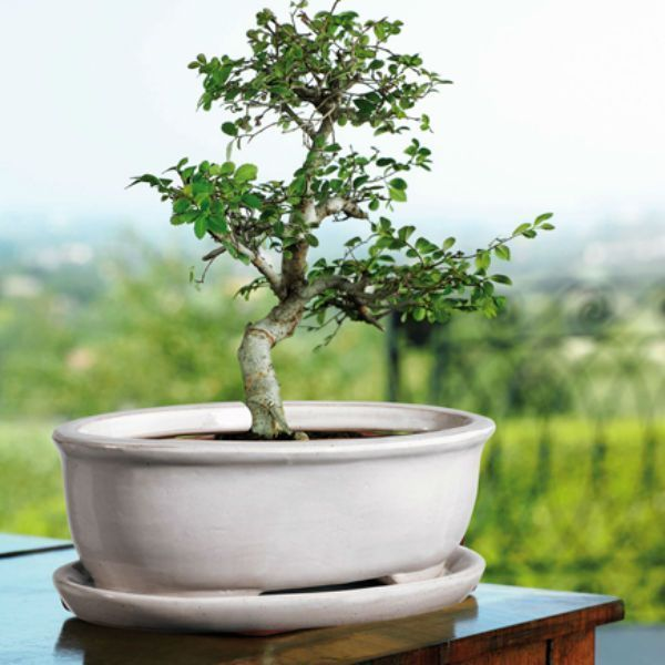 maceta-ovalada-bonsai.jpg