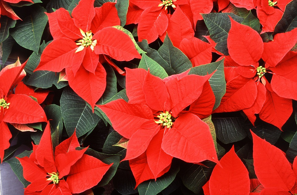 Red poinsettia flower.jpg