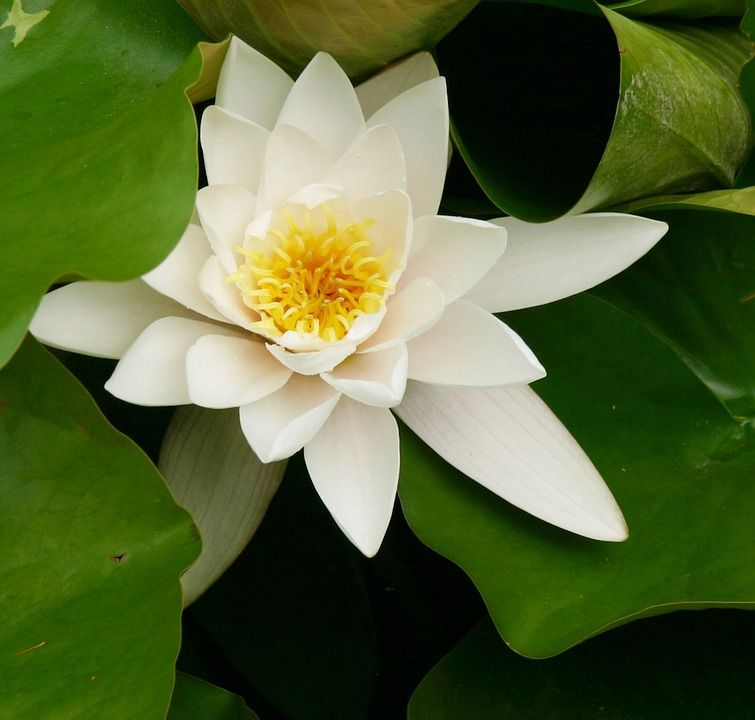 water-lily-228728_960_720.jpg